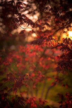 Shallow depth of field vertical orientation photograph of a blooming Japanese Maple at golden hour.