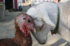 """""""Give Some Time to a Lamb in Need,"""" via """"All Creatures Animal Stories"""" -- Click through to read the very sad story of Toulouse the lamb, shown here trying to acclimate to her new barnyard."""