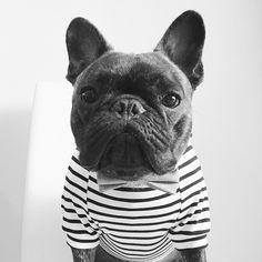 Pierre Brando, the very Dapper French Bulldog