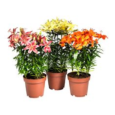 LILIUM Plante en pot IKEA (orange) - 19 CM