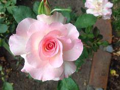 Lovely un named floribunda