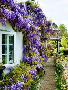 Wisteria —- in the garden, beautiful