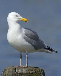 Herring Gull (Larus argentatus) found on the coasts of the North Atlantic in North America.