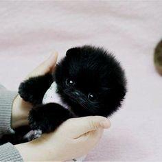 Teacup Pom♥ melts it looks like a baby gorilla lol #teacupdogslist #teacupdogs…