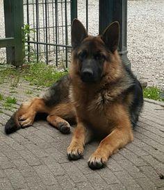 Duitse herder Grace 8 maanden oud. Foto van Astrid Roubos Schaefer, Doge, German, Animals, Dogs, Deutsch, Animais, Animales, German Language