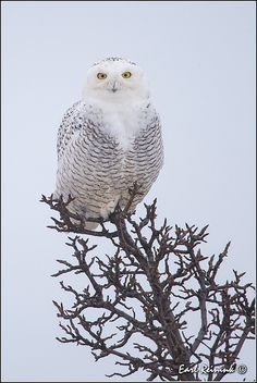 Snowy Owl in a Pear Tree