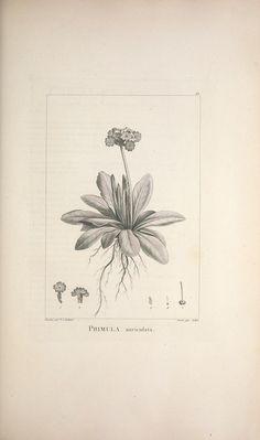 Description des plantes nouvelles et peu connues : - Biodiversity Heritage Library