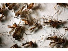 #West Nile Virus Detected In Oakland County - Patch.com: Patch.com West Nile Virus Detected In Oakland County Patch.com Oakland County…
