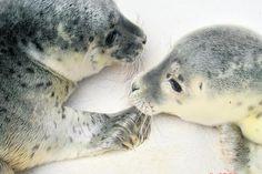 rescued howlers (seal pups)  Diese Heuler wurden gestern aus der Elbe bei Cuxhaven gerettet.    abendblatt.de