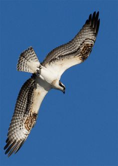 Osprey (Pandion haliaetus ) - hawk family ID: -kink in wings when seen from below - circle high in sky - eat fish -stripe though eye, hooked bill, white belly