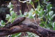 Фото: One of the highlights of Samburu was the incredible leopard sightings and photographic opportunities. This leopard kept going from tree to tree and log to log, for over an hour. Samburu, Kenya #80DaysinAfrica #Kenya #AfricanSafari #wildlifephotography #naturephotos #Africa #bigcats #womeninphotography #hqspwildlifephotography #hqspwildlife #africantuesday ' specify weekly theme name here ' +African Tuesday curated by +Morkel Erasmus , +Dick Whitlock and +Grobler du…