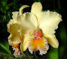 ** Catleya Orchidea **
