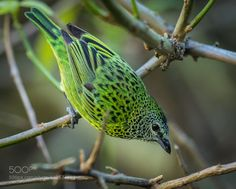 Spotted Tanager by shammond3 #animals #animal #pet #pets #animales #animallovers #photooftheday #amazing #picoftheday