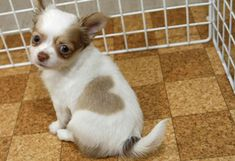 """A little """"puppy love"""" from Japan. """"Heart-kun"""" the chihuahua was one of a litter born on May 18, 2007 at Pucchin Dog's shop in Odate, northern Japan. Owner Emiko Sakurada has been quoted as saying that out of 1,000 puppies she has bred, Heart-kun is the only one with such a mark. August 2009 Heart-kun got a little brother """"Love-kun"""" with the same markings."""