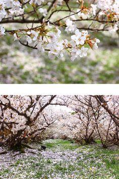 東瀛散步|關西小眾賞櫻勝地在春天去做一場粉色的夢 » ㄇㄞˋ點子靈感創意誌