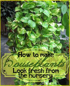 grooming houseplants, design d cor, gardening, With a few simple steps you can have plants that look like you just bought them at the nursery