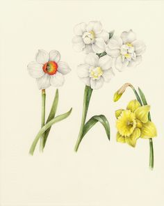 Daffodil. From the collection of botanical illustrations of flowers by Wendy Hollender.