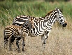 IMG_6695 - Zebra baby and mother    Like, share http://www.celebritybabyclothes.com/