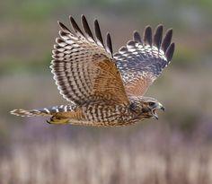 Red Shouldered Hawk (photos by Devor Desansic) Raptors, Beautiful Birds, Animals Beautiful, Hawk Species, Hawk Photos, Hawk Bird, Big Bird, Bird Pictures, Birds Of Prey