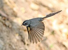 ノドジロオウギビタキ White-throated Fantail (Rhipidura albicollis)