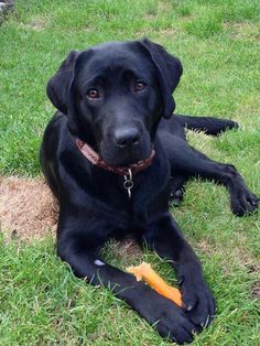 Beautiful black lab!!!!!!! His name is Raven. I love that black labs have such expressive eyebrows.
