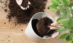 Ingrasamant natural După cum bine știi, așa cum și oamenii au nevoie de vitamine și de nutrienți, plantele urmează același tipar. Nu este de mirare că florile tale se vor usca, dacă nu le hrănești periodic și mai ales în perioada vegetativă și în cea de înflorire. Ant Problem, Mealy Bugs, Plant Bugs, Clean Pots, Saintpaulia, Beneficial Insects, Neem Oil, Houseplants, Dog Food Recipes