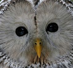 Google Image Result for http://www.wildnature.no/BILDER/Ural-owl-head2_s.jpg