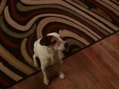 #Founddog 12-26-14 #Jacksonville #FL #JackRussell #Terrier Male SAMANTHA HARS-SCHIMEK LOST AND FOUND PETS NE FLORIDA https://www.facebook.com/photo.php?fbid=10202312946424444&set=o.128776117212549&type=1