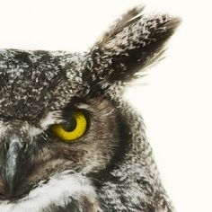 Nature Photography, Great Horned Owl Photo, Bird, Animal, Father's Day, Feathers, Tribal - Say It Like You Mean It.