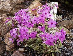 Phlox  amoena ´Variegata´ Botany, Garden, Plants, Lawn And Garden, Gardens, Plant, Outdoor, Home Landscaping, Tuin