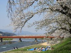 もう葉桜でした #角館  #桜