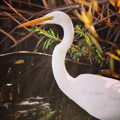 Egret at Sepulveda Basin Wildlife Reserve #bird #nature #wildlife #animal #outdoors