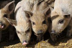 Die Schweine leben 365 Tage im Jahr im Freien, können aber jederzeit in den Stall. Animals, Life, Animales, Animaux, Animal, Animais