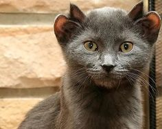 Yoda, the four-eared cat from Chicago