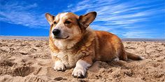 Get ready for Corgi names that are cute, sweet and a little bit sassy – kind of like Corgis themselves! You'll find the perfect name for your pup. Find the best Corgi stuffs only at Corgilover. Corgi Names, Puppy Names, What Kind Of Dog, Cute Corgi, Boxer Dogs, Dog Quotes, Animals And Pets, Dog Training, Puppy Love