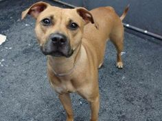 GONE --- TO BE DESTROYED 5/16/14  Manhattan Center    My name is BELLA. My Animal ID # is A0999550.  I am a female tan pit bull. The shelter thinks I am about 2 YEARS    I came in the shelter as a OWNER SUR on 05/12/2014 from NY 10452, owner surrender reason stated was NO TIME.   https://www.facebook.com/photo.php?fbid=803590259653855&set=a.617938651552351.1073741868.152876678058553&type=3&permPage=1