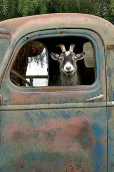 Nothing to see here, just a goat sittin' in a truck, keep moving.