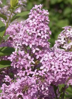 Medium-sized, mid-season lilac with wonderfully fragrant lilac-pink flowers that bloom in mid-May. Graceful branches are broadly spreading. More refined than common llilac. Useful for screens, hedges, spring accents and cut flowers. Lilac Tree, Lilac Flowers, Colorful Flowers, Spring Flowers, Beautiful Flowers, Cut Flowers, Flowering Shrubs, Deciduous Trees, Growing Flowers