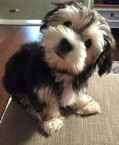 Dogs are said to be some of the best pets to keep. As a matter of fact, they are referred to as man's best friends. There are many breeds of dogs Bichon Havanais, Havanese Puppies, Cute Puppies, Dogs And Puppies, Cockapoo, Schnauzer Puppies, Cavachon, Miniature Schnauzer, Bichons