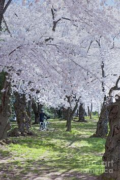 ✯ Washington DC Spring Cherry Blossoms - call me crazy, but I would find it very worthwhile to pay for a weekend trip out to DC, JUST to walk under the cherry blossoms! :)