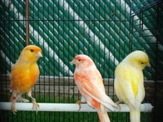 Low Prices On All Canaries Now in Paramus, New Jersey - Hoobly Classifieds Canary Birds, Parakeets, Colorful, Animals, Animales, Parakeet, Animaux, Animal, Animais