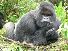 Cantsbee the Silverback gorilla