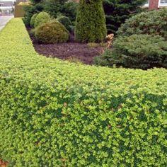 Japanse Hulst - Ilex Crenata Dark Green