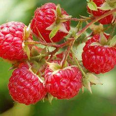Heritage Red Raspberry Bush for Sale Raspberry Bush, Raspberry Plants, Organic Soil, Organic Fertilizer, Organic Gardening, Flower Gardening, Organic Farming, Growing Blackberries, Rouge