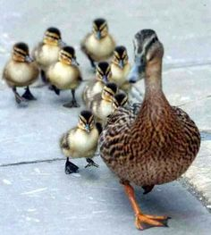 Make way for ducklings....