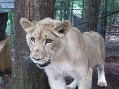 Liberty, our newest resident at Noah's Ark. She is a 7 month old lioness who comes to us as a surplus animal from a zoo in the Chicago area. www.noahs-ark.org