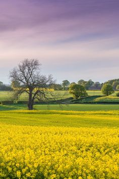 The golden fields of Yorkshire, England.