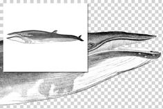 Whales: 1151 Sei Whale By Enliven Designs