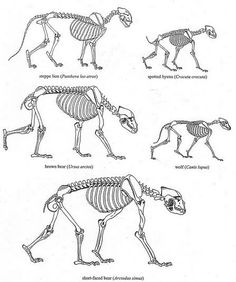 Shape of Skeletons compared for La Brea Lion, Spotted Hyena, Brown Bear, Wolf and Arctodus the giant Short-faced bear, by Bjorn Kurten. Animal Skeletons, Animal Skulls, Elephant Anatomy, Animal Anatomy, Animal Sketches, Drawing Sketches, Anatomy Reference, Drawing Reference, Short Faced Bear