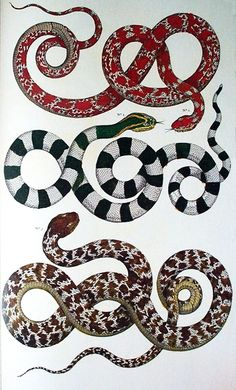 Natural curiosities from the cabinet of Albertus Siba, snakes from Asia,Guadeloupe and Japan.